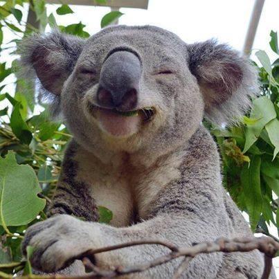 Love eating Gold in Eucalyptus leaves