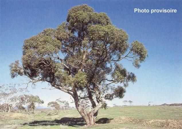 eucalyptus_aggregata