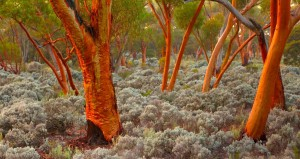 Eucalyptus Trees Absorb Gold into their leaves not money.