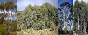 Eucalyptus Tree Information