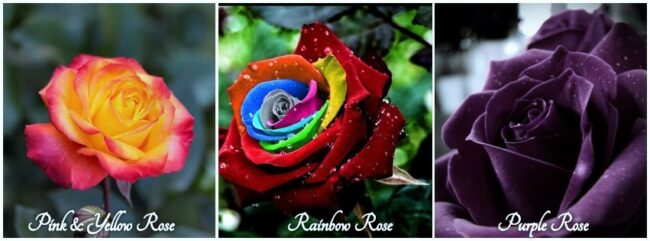 Exotic Roses