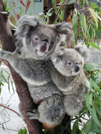 koalas with baby in tree